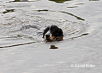 0808-0801  Tricolor English Springer Spaniel Swimming, Canis lupus familiaris © David Kuhn/Dwight Kuhn Photography.