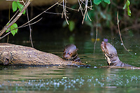 giant otter, or giant river otter, Pteronura brasiliensis, two pups, Madre de Dios River, Manu National Park, Peru