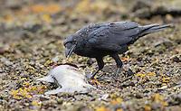A Northwestern crow picks at a salmon carcass.