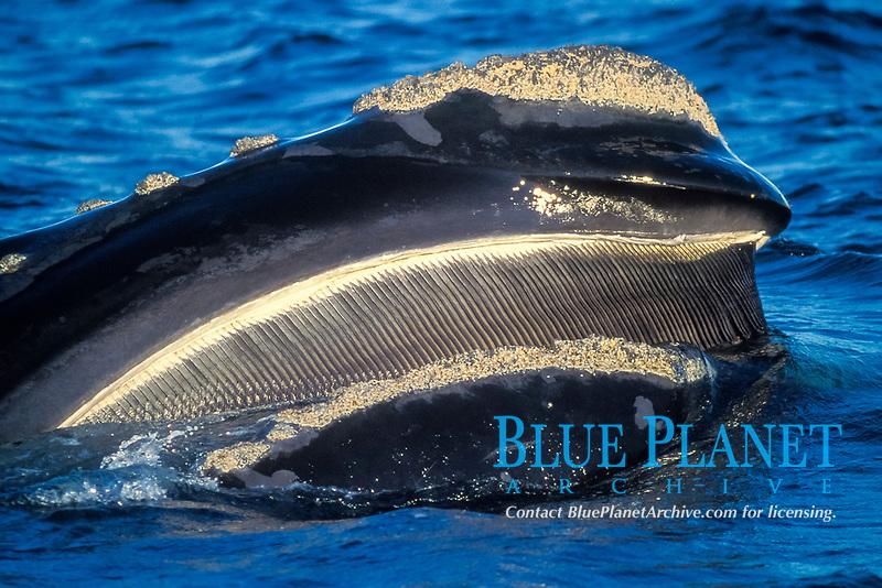 southern right whale, Eubalaena australis, baleen, Valdes, Argentina, South Atlantic