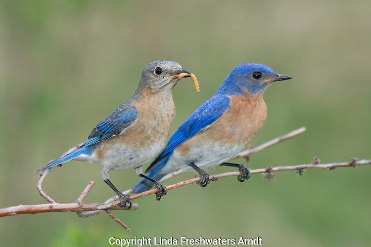 Female eastern bluebird perched on a branch