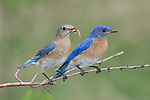 Female eastern bluebird perched on a branch