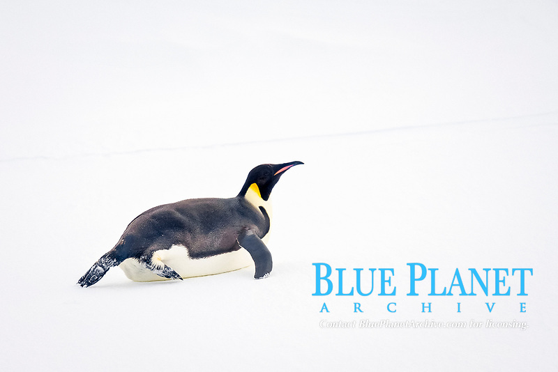 Adult Emperor Penguin (Aptenodytes forsteri) resting on ice floe below the Antarctic circle on the western side of the Antarctic Peninsula. These are individuals that have hauled out, possibly to rest from foraging.