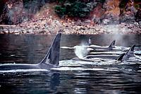 orca or killer whale pod, Orcinus orca, Johnstone Strait, British Columbia, Canada (Pacific Ocean)