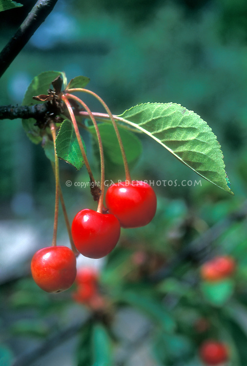Sour Cherries fruit 'Nabella' on tree, Montmorency type Tart Cherry, excellent antioxidant, treatment for gout, highest source of melatonin