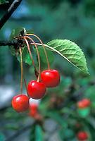 Sour Cherries fruit 'Nabella' on tree, Montmorency type Tart Cherry, excellent antioxidant, treatment for gout, highest source of melatonin