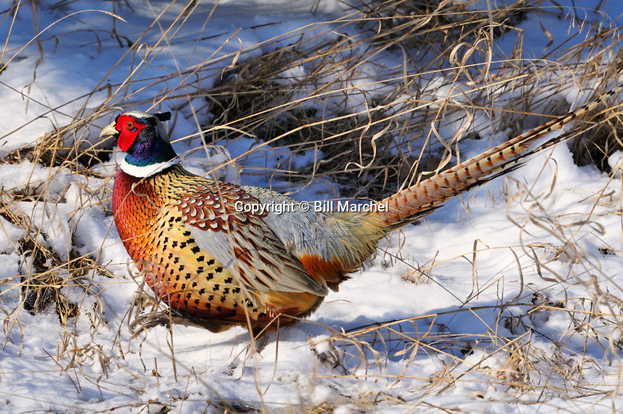 00890-040.19 Ring-necked Pheasant rooster is walking in grassy cover after recent snow fall.  Hunt, color.