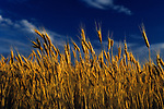 Close-up of wheat in field, sunset light, golden, warm light Eastern Washington State USA