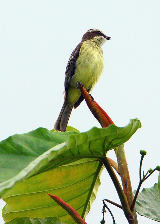 Piratic flycatcher