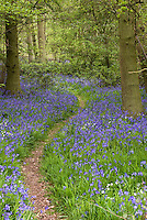 Bluebells in spring bloom Hyacinthoides non-scripta in the woods - going for a walk down forest path full of blue flowers