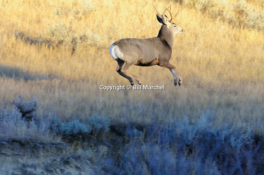 00270-009.13 Mule Deer buck is bounding in typical stotting fashion in sage western US habitat.