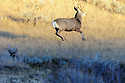 00270-009.13 Mule Deer buck is bounding in typical stotting fashion in sage western US habitat.
