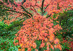Kubota Garden, Seattle, WA:  Fall colored branches of a Japanese maple and its understory