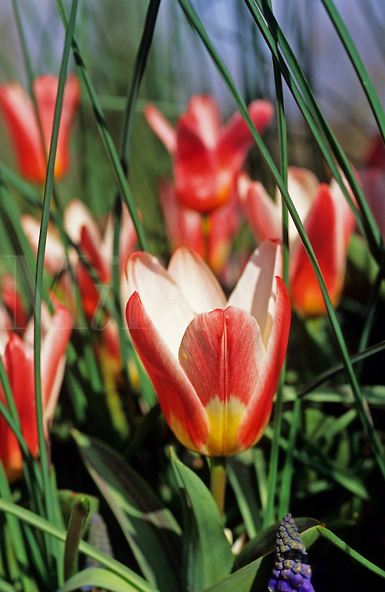 Tulips Heart's  Delight, Kaufmanniana, and muscari leaves.