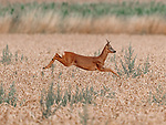 "A deer takes an early morning leap through a field of wheat in Boultham Mere, Lincoln.  The roe deer was in a field off a track used by dog walkers. <br /> <br /> Andrew Scott, 45, from North Hykeham, Lincolnshire, who spotted the buck said, ""I saw the deer and managed to get a little closer, it eventually noticed me and then ran to the left before bolting to the right. I'd been watching it for around 10 mins before it eventually spotted me.""<br /> <br /> ""It took me by complete surprise when it leap at full height, I wasn't expecting that at all!""<br /> <br /> Please byline: Andrew Scott/Solent News<br /> <br /> © Andrew Scott/Solent News & Photo Agency<br /> UK +44 (0) 2380 458800"
