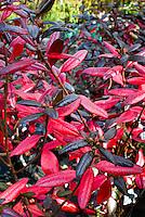 Rhododendron 'Landmark' Lepidote smallleaf fall foliage