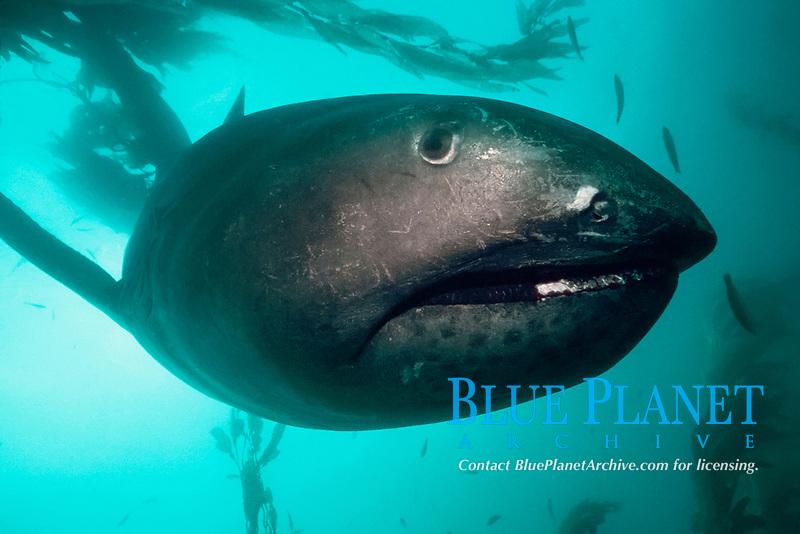 megamouth shark, Megachasma pelagios, California, USA, Pacific Ocean