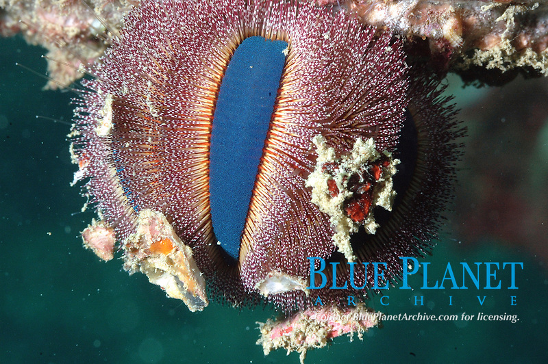 Blue banded sea urchin - echinothrix calamaris - has venomous spines which can break and become embedded in the skin very easily