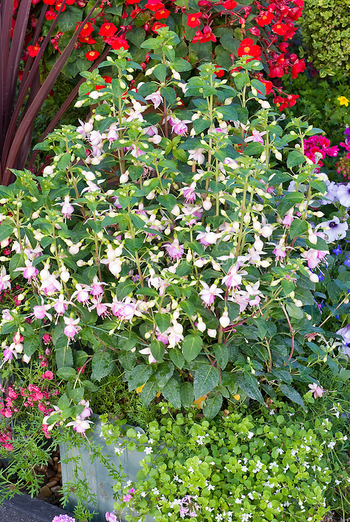 Fuchsia, Bacopa in pot container garden, mixture of annual plants in bloom