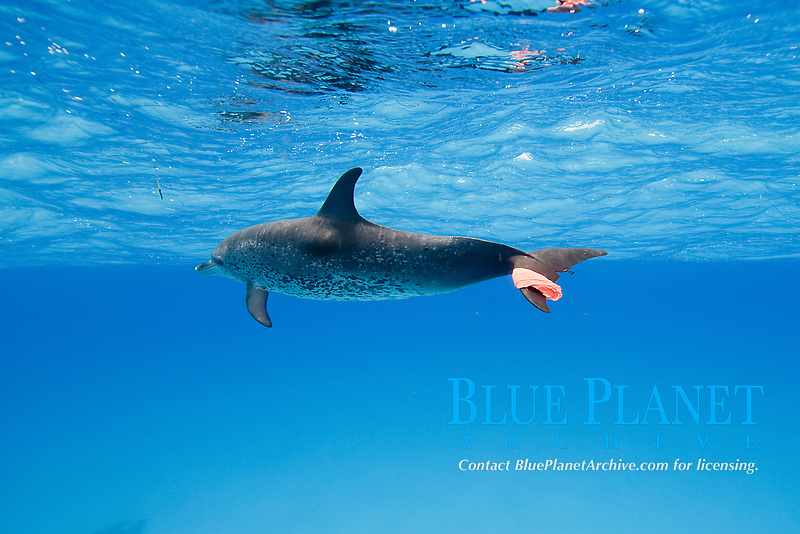Playing the Bandana Game with wild Atlantic Spotted Dolphins, Stenella frontalis, on Little Bahama Bank, Bahamas, Caribbean, Atlantic