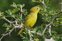Yellow Warbler, Dendroica petechia, male, South Padre Island, Texas, USA, May 2005