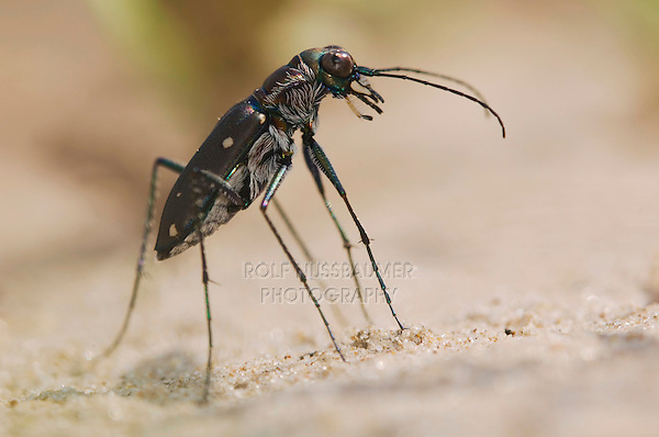 Tiger Beetle, Cicindela ocellata, adult on sand, Willacy County, Rio Grande Valley, Texas, USA, June 2006