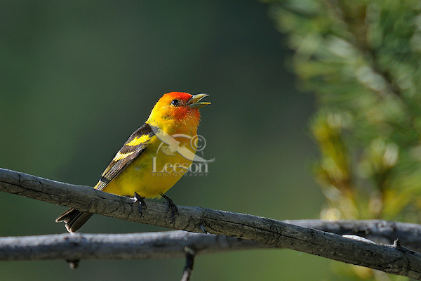Male Western Tanager (Piranga ludoviciana) singing.  Western U.S., summer.