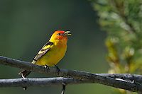 Male Western Tanager (Piranga ludoviciana) singing.  Western U.S., summer.