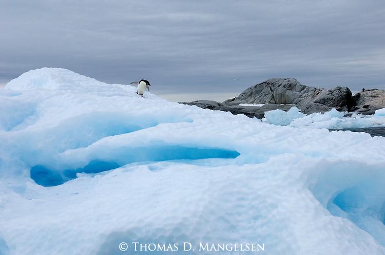 An Adelie penguin walks across ice on Peterman Island, Antarctic Peninsula.