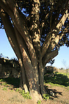 Israel, Lower Galilee, Cypress tree (Cupressus sempervirens) in Ilania
