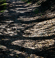 A dirt path, coated with last fall's leaves, passes under the trunks and branches of trees that cast a tangle of shadows on nature's floor at Cull Canyon Regional Recreation Area in the San Francisco Bay area.