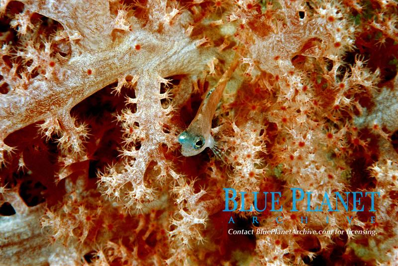 swallowtail hawkfish, Cyprinocirrhites polyactis, size of 2 cm, MabuI Island, Borneo, Malaysia, Indo-Pacific Ocean