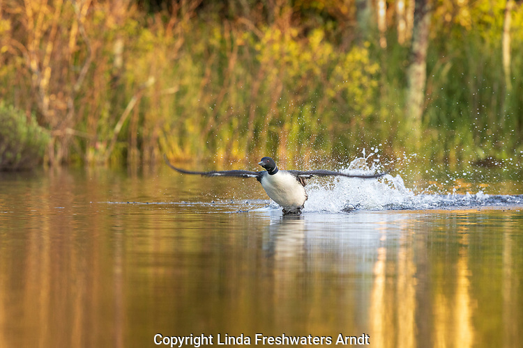 Common loon taking flight from a northern Wisconsin lake.