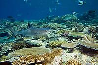 A shallow reef scene with a whitetip reef shark, Triaenodon obesus. Fiji.