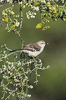 Northern Mockingbird (Mimus polyglottos), adult eating ice covered Christmas mistletoe berries (Phoradendron tomentosum), Dinero, Lake Corpus Christi, South Texas, USA