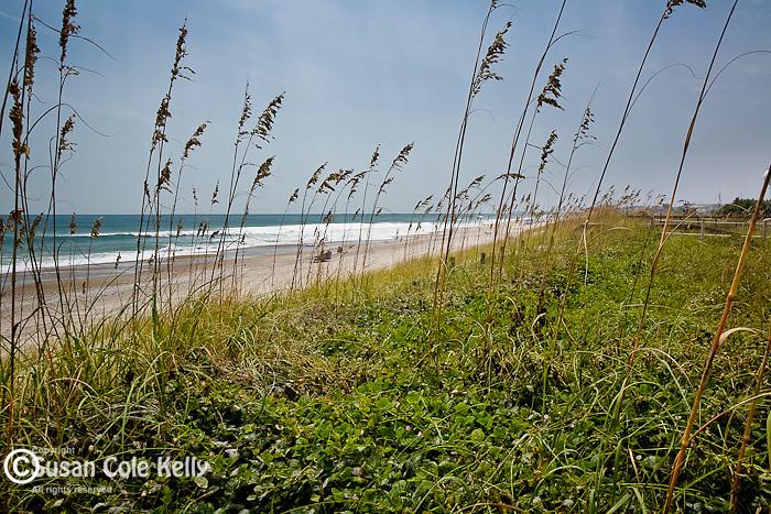 Sea Oats, Wrightsville Beach, NC, USA