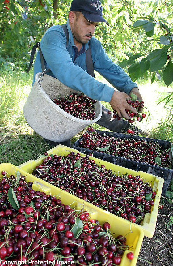 Raul Vivero pours his bucket of cherries into bins at Ignacio De La Mora's ranch near the Yakima Valley's tiny community of Outlook, Washington. He wears a harness designed to carry the bucket close to his body as he climbs up into the trees to pick the fruit.