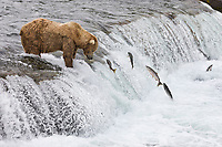 Brown bear fish for red salmon at the falls of Brooks River, Katmai National Park, southwest, Alaska.