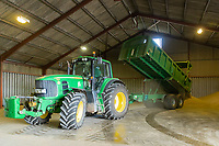 Wheat being tipped into grain store - Lincolnshire, August