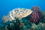 Gardens of the Queen, Cuba; a Goliath Grouper swimming beside a large purple barrel sponge on the coral reef