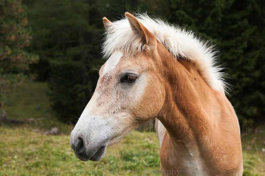 Haflinger foal in the Dolomites, Italy