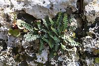 Milzfarn, Schriftfarn,  Apothekerfarn, Ceterach officinarum, Asplenium ceterach, Rusty Spleenwort
