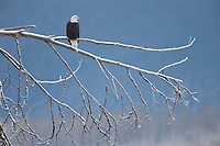Bald Eagle (Haliaeetus leucocephalus). Southeast, Alaska. December.