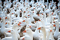 20/11/19<br /> <br /> The geese wait to be let out.<br /> <br /> A flock of 500 free range geese take one of their final morning walks from their barn through the village of Croxton Kerrial.<br /> <br /> The geese, who have loved the recent rain and mud spend their day grazing in a field over-looked by the village church in Lincolnshire, before waddling back to their warm barn at Botterill & Sons Freerange Birds at dusk.<br /> <br /> You'll need to be quick if you want to have a gander at these feathery commuters, as the six-month-old birds will all take their last stroll through the village next week as demand for goose on the Christmas dinner table continues to rise year-on-year.<br /> <br /> The farm has a total of 1500 geese and also supplies turkeys, duck and chicken for Christmas.<br /> <br /> The geese have walked through the village for 30 years.<br /> <br /> <br /> All Rights Reserved: F Stop Press Ltd.  <br /> +44 (0)7765 242650 www.fstoppress.com
