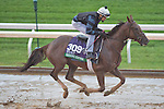 October 28, 2015 :   Shining Copper, trained by Chad C. Brown and owned by Kenneth L. and Sarah K. Ramsey, exercises in preparation for the Longines Breeders' Cup Turf at Keeneland Race Track in Lexington, Kentucky on October 28, 2015. Scott Serio/ESW/CSM