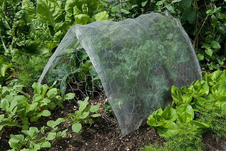 A specially constructed tent of wire netting and enviromesh protects these cauliflowers 'All The Year Round' from birds, butterflies, moths, and cabbage root fly, mid June.