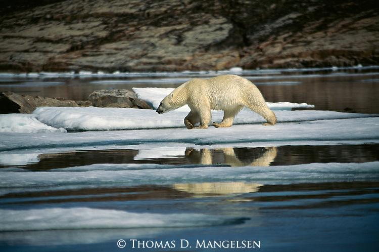 A polar bear walks across ice along the shore.