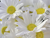 Close up of Margerite Daisy.