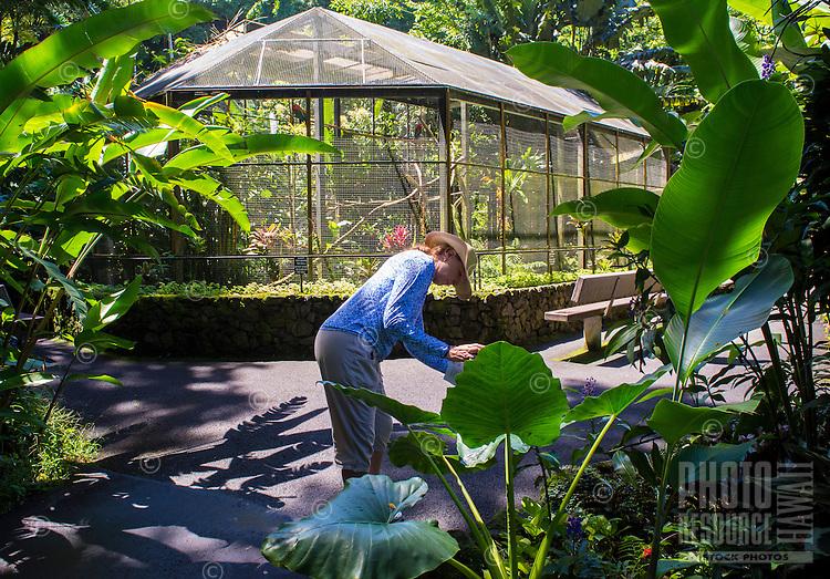 A tourist takes a cell phone photo of a big 'ape (elephant ear) leaf near the founders' birdhouse at Hawaii Tropical Botanical Garden, Papa'ikou, Big Island of Hawaiʻi.