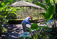 A tourist takes a cell phone photo of a big 'ape (elephant ear) leaf near the founders' birdhouse at Hawaii Tropical Botanical Garden, Papa'ikou, Big Island of Hawaiʻi.
